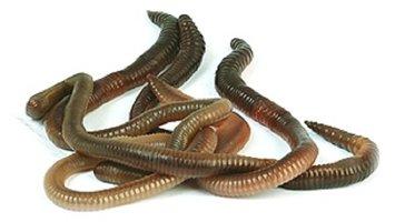Dauwwormen 8-10 stuks